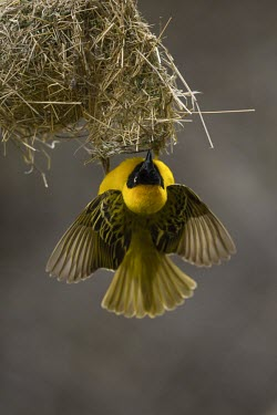 A male lesser masked weaver hanging upside down from its nest male,yellow,flying,fly,flight,wings,wing,winged,wingspan,aerial,nest,nesting,nest building,display,home,action,colour,shallow focus,Animalia,Chordata,Aves,Passeriformes,Ploceidae,Ploceus intermedius,L