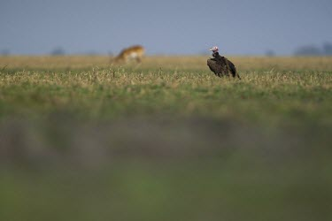 A lappet-faced vulture rests while a red lechwe stands in the distance vulture,scavenger,bird,Africa,savannah,savanna,field,grass,grassland,shallow focus,negative space,lappet faced vulture,carnivore,Lappet-faced vulture,Torgos tracheliotos,Accipitridae,Hawks, Eagles, Ki