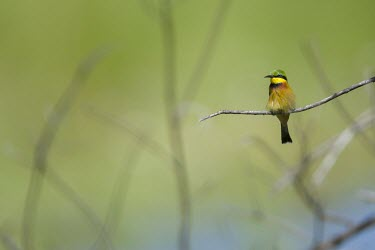 A little bee-eater perching on a branch perch,perched,perching,sitting,bird,colour,colourful,bee eater,green background,shallow focus,twig,branch,pretty,negative space,birds,birdlife,Little bee-eater,Merops pusillus,Little Bee-eater,Coracii