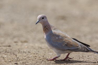 A laughing dove at a waterhole dove,bird,peach,grey,plumage,shallow focus,ground,looking at camera,face,profile,passerine,Laughing dove,Spilopelia senegalensis,Stigmatopelia senegalensis,Pigeons, Doves,Columbidae,Chordates,Chordata