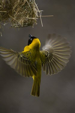 A male lesser masked weaver flying into its nest male,yellow,flying,fly,flight,wings,wing,winged,wingspan,aerial,nest,nesting,nest building,display,home,action,colour,shallow focus,Animalia,Chordata,Aves,Passeriformes,Ploceidae,Ploceus intermedius,L