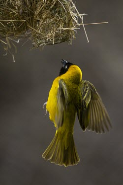 A male lesser masked weaver flying into its nest male,yellow,flying,fly,flight,wings,wing,winged,wingspan,aerial,nest,nesting,nest building,display,home,action,colour,shallow focus,Aves,Passeriformes,Ploceidae,Ploceus intermedius,Lesser masked weave