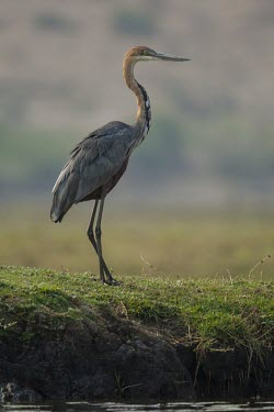 A goliath heron stands on an exposed island bustard,bird,face,bill,plumage,crest,brown,shallow focus,Africa,birds,Kori bustard,Ardeotis kori