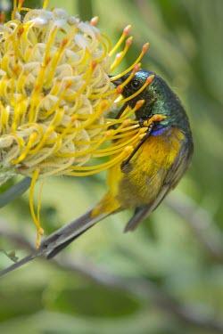 An orange-breasted sunbird feeds on the pollen of a pincushion protea (Leucospermum sp) Fork-tailed Drongo,Animalia,Chordata,Aves,Passeriformes,Dicruridae,bird,birds,birdlife,avian,silhouette,hitch hiker,grooming,preening,feeding,parasites,Dicrurus adsimilis