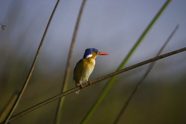 A malachite kingfisher perching on reeds perch,perched,perching,sitting,bird,colour,colourful,kingfisher,king fisher,shallow focus,twig,branch,pretty,plumage,bill,birds,birdlife,Malachite kingfisher,Corythornis cristatus