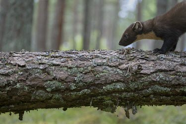 A pine marten standing on a fallen tree during marten,carnivore,Europe,UK,Scotland,woodland,forest,pine,mustelid,tree,lichen,shallow focus,fallen tree,pine forest,Pine marten,Martes martes,Chordates,Chordata,Weasels, Badgers and Otters,Mustelidae,