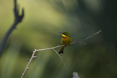 A little bee-eater perching on a branch perch,perched,perching,sitting,bird,colour,colourful,bee eater,green background,shallow focus,twig,branch,pretty,birds,birdlife,Little bee-eater,Merops pusillus,Little Bee-eater,Coraciiformes,Rollers