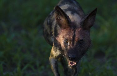 The face of an adult African wild dog covered in blood from a recent kill wild dog,hunting dog,African hunting dog,canine,savannah,savanna,hunter,predator,carnivore,Africa,green background,fierce,face,teeth,snarl,African wild dog,Lycaon pictus,Carnivores,Carnivora,Mammalia,