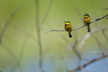 Two little bee-eaters perching on a branch perch,perched,perching,sitting,birds,bird,colour,colourful,bee eater,green background,shallow focus,twig,branch,pretty,pair,couple,duo,negative space,birdlife,Little bee-eater,Merops pusillus,Little B