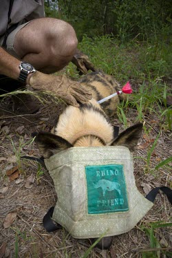 A vet examines a tranquilised African wild dog, its face covered to protect its eyes wild dog,hunting dog,African hunting dog,canine,savannah,savanna,hunter,predator,carnivore,Africa,tagged,tagging,monitoring,conservation,dart,tranquiliser,asleep,sleeping,human,canid,canids,African wi