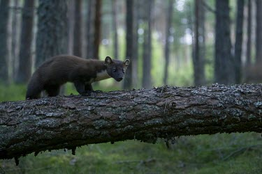 A pine marten standing on a fallen tree during savannah,savanna,Africa,fence,anti-predator fence,perimeter,park,reserve,boundary,conservation,monitoring,tracks,warden,human,wild dog,hunting dog,African hunting dog,canine,hunter,predator,carnivore,