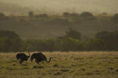 Two female ostriches feed on grassland bird,neck,savanna,savannah,flightless bird,scrubland,shrub,pair,duo,ostriches,birds,silhouette,Ostrich,Struthio camelus,Ostriches,Struthionidae,Aves,Birds,Struthioniformes,Chordates,Chordata,Common os