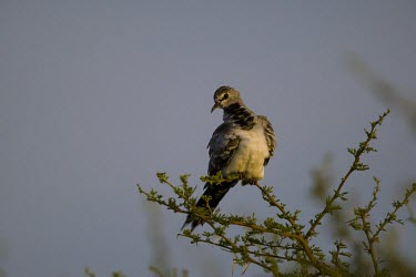 A young male Namaqua Dove sitting at the top of an acacia tree dove,bird,grey,plumage,shallow focus,branch,thornbush,thorn bush,thorns,looking at camera,profile,passerine,Namaqua dove,Oena capensis,Pigeons, Doves,Columbidae,Aves,Birds,Pigeons and Doves,Columbifor
