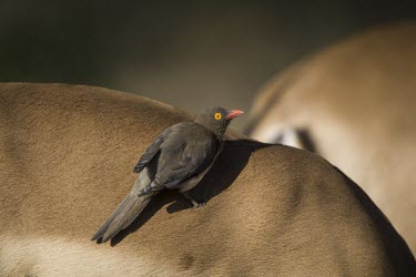 A red-billed oxpecker perching on the back of an impala (Aepyceros melampus) oxpecker,bird,zebra,hitchhiker,insectivore,cleaner,grooming,feeding,relationship,symbiotic,symbiotic relationship,symbioses,birds,birdlife,Red-billed oxpecker,Buphagus erythrorhynchus
