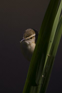 A tawny flanked prinia in reeds lining Lake Panic Animalia,Chordata,Aves,Passeriformes,Cisticolidae,Prinia subflava,Tawny-flanked prinia,insectivore,close up,face,grass,bird,birds,birdlife