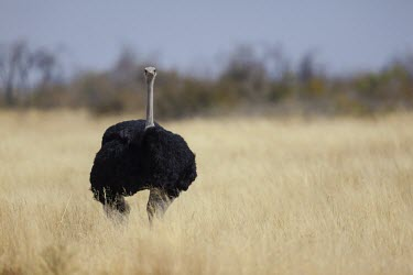 A male ostrich standing on the open plains of the Kalahari Desert bird,neck,shallow focus,savanna,savannah,flightless bird,feathers,plumage,torso,round,head,profile,birds,birdlife,looking at camera,Ostrich,Struthio camelus,Ostriches,Struthionidae,Aves,Birds,Struthio