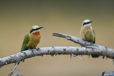 A pair of white-fronted bee-eaters perching on a fallen branch of an acacia tree perch,perched,perching,sitting,bird,colour,colourful,bee eater,shallow focus,twig,branch,pretty,pair,duo,birds,birdlife,White-fronted bee-eater,Merops bullockoides,Bee-eaters,Meropidae,Aves,Birds,Cora