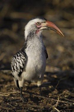 A red-billed hornbill foraging on the ground hornbill,bill,bird,savanna,savannah,Africa,ground,grumpy,birds,birdlife,Red-billed hornbill,Tockus erythrorhynchus