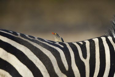 A red-billed oxpecker perching on the back of a plains zebra (Equus quagga) oxpecker,bird,hitchhiker,insectivore,cleaner,grooming,feeding,relationship,antelope,symbiotic,symbiotic relationship,symbioses,birds,birdlife,Red-billed oxpecker,Buphagus erythrorhynchus