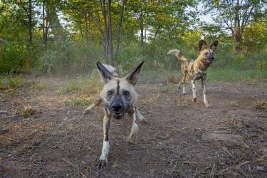 Adult African wild dogs investigating a camera trap kudu,ungulate,antelope,dead,prey,victim,food,hunted,horns,ungulates,antelopes,Greater kudu,Tragelaphus strepsiceros,African wild dog,Lycaon pictus,Carnivores,Carnivora,Mammalia,Mammals,Chordates,Chord