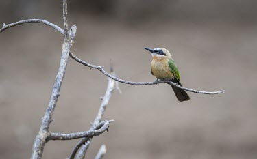 A white-fronted bee-eater perching on the branch of a dead tree while hawking for insects Animalia,Chordata,Aves,Passeriformes,Cisticolidae,Camaroptera brachyura,passerine,red eye,yellow,perch,perched,perching,sitting,tree,shallow focus,bird,birds,birdlife,avian,Bleating camaroptera,Merops