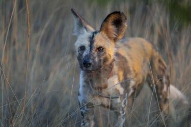 An adult African wild dog moving through grassland wild dog,hunting dog,African hunting dog,canine,savannah,savanna,hunter,predator,carnivore,Africa,African wild dog,Lycaon pictus,Carnivores,Carnivora,Mammalia,Mammals,Chordates,Chordata,Dog, Coyote, W