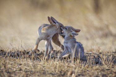 Black-backed jackal pups playing canine,jackal,carnivore,scavenger,predator,Africa,savanna,savannah,young,pup,pups,juvenile,dogs,wild dogs,canid,canids,Black-backed jackal,Canis mesomelas,Carnivores,Carnivora,Mammalia,Mammals,Dog, Co