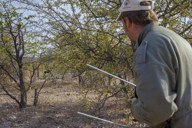 A researcher observing an African wild dog tracked using radio telemetry savannah,savanna,Africa,conservation,monitoring,tracks,tracking,radio tracking,warden,human,wild dog,hunting dog,African hunting dog,canine,hunter,predator,carnivore,bush,African wild dog,Lycaon pictu