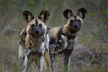 Two adult African wild dogs preparing to set out on a hunt wild dog,hunting dog,African hunting dog,canine,savannah,savanna,hunter,predator,carnivore,Africa,African wild dog,Lycaon pictus,Carnivores,Carnivora,Mammalia,Mammals,Chordates,Chordata,Dog, Coyote, W
