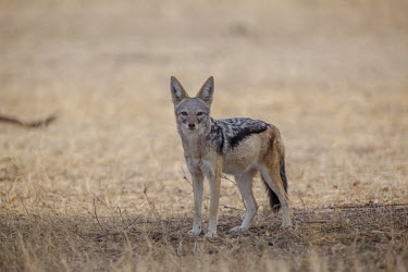 A black-backed jackal standing in shade canine,jackal,carnivore,scavenger,predator,Africa,savanna,savannah,dogs,wild dogs,canid,canids,Black-backed jackal,Canis mesomelas,Carnivores,Carnivora,Mammalia,Mammals,Dog, Coyote, Wolf, Fox,Canidae,