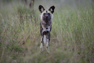 An adult African wild dog with injuries from a fight wild dog,hunting dog,African hunting dog,canine,savannah,savanna,hunter,predator,carnivore,Africa,African wild dog,Lycaon pictus,Carnivores,Carnivora,Mammalia,Mammals,Chordates,Chordata,Dog, Coyote, W