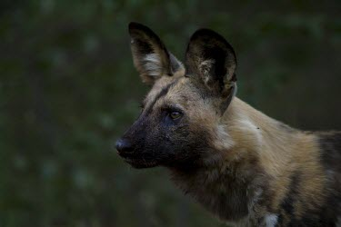 An adult African wild dog standing in late afternoon light wild dog,hunting dog,African hunting dog,canine,savannah,savanna,hunter,predator,carnivore,Africa,African wild dog,Lycaon pictus,Carnivores,Carnivora,Mammalia,Mammals,Chordates,Chordata,Dog, Coyote, W