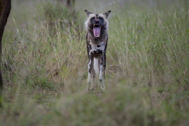An adult African wild dog yawning wild dog,hunting dog,African hunting dog,canine,savannah,savanna,hunter,predator,carnivore,Africa,African wild dog,Lycaon pictus,Carnivores,Carnivora,Mammalia,Mammals,Chordates,Chordata,Dog, Coyote, W