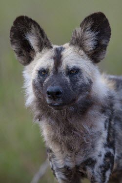Portrait of an adult African wild dog canine,jackal,carnivore,scavenger,predator,Africa,savanna,savannah,dogs,wild dogs,canid,canids,Black-backed jackal,Canis mesomelas,African wild dog,Lycaon pictus,Carnivores,Carnivora,Mammalia,Mammals,