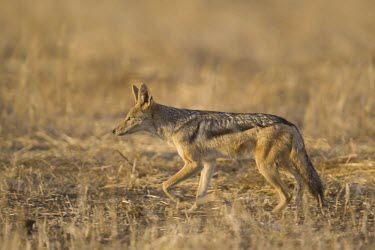 A black-backed jackal walking across an open plain canine,jackal,carnivore,scavenger,predator,Africa,savanna,savannah,dogs,wild dogs,canid,canids,Black-backed jackal,Canis mesomelas,Carnivores,Carnivora,Mammalia,Mammals,Dog, Coyote, Wolf, Fox,Canidae,