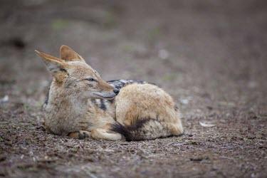 A black-backed jackal resting canine,jackal,carnivore,scavenger,predator,Africa,savanna,savannah,dogs,wild dogs,canid,canids,Black-backed jackal,Canis mesomelas,Carnivores,Carnivora,Mammalia,Mammals,Dog, Coyote, Wolf, Fox,Canidae,