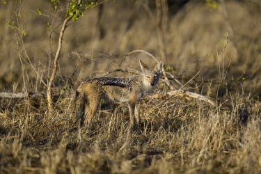 A black-backed jackal standing in early morning light wild dog,hunting dog,African hunting dog,canine,savannah,savanna,hunter,predator,carnivore,Africa,African wild dog,Lycaon pictus,Canis mesomelas,Black-backed jackal,Carnivores,Carnivora,Mammalia,Mamma