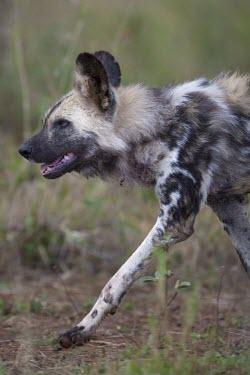 An adult African wild dog running through grassland wild dog,hunting dog,African hunting dog,canine,savannah,savanna,hunter,predator,carnivore,Africa,African wild dog,Lycaon pictus,Carnivores,Carnivora,Mammalia,Mammals,Chordates,Chordata,Dog, Coyote, W