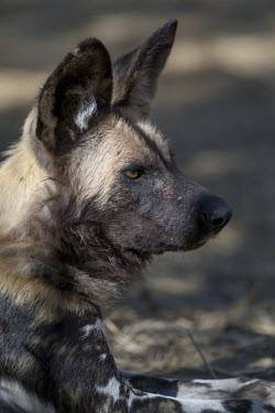 An adult African wild dog resting in forest lining the Limpopo River canine,jackal,carnivore,scavenger,predator,Africa,savanna,savannah,dogs,wild dogs,canid,canids,Black-backed jackal,Canis mesomelas,African wild dog,Lycaon pictus,Carnivores,Carnivora,Mammalia,Mammals,