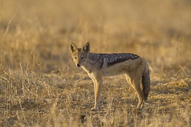 A black-backed jackal standing in the open plains canine,jackal,carnivore,scavenger,predator,Africa,savanna,savannah,dogs,wild dogs,canid,canids,Black-backed jackal,Canis mesomelas,Carnivores,Carnivora,Mammalia,Mammals,Dog, Coyote, Wolf, Fox,Canidae,