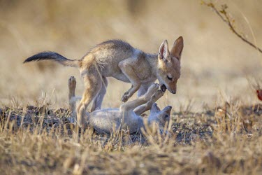 Black-backed jackal pups playing in evening light bird,birds,birdlife,avian,aves,bill,plumage,legs,lily pad,pond,lake,ponds and lakes,wetland,water,wader,Actophilornis africanus,Animalia,Chordata,Charadriiformes,Jacanineae,African Jacanam,African jac