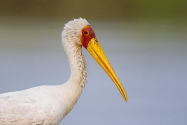 Portrait of a yellow-billed stork or wood ibis fishing in the shallows of the Chobe River Wood ibis,stork,storks,bill,yellow,shallow focus,close up,bird,water,wader,birds,birdlife,Yellow-billed stork,Mycteria ibis,Aves,Birds,Chordates,Chordata,Ciconiiformes,Herons Ibises Storks and Vulture