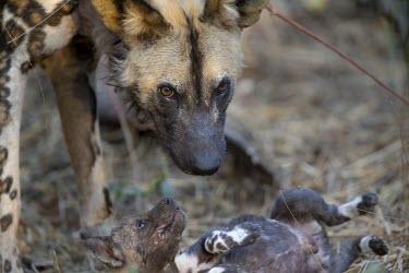 An African wild dog tending to a month-old pup near a den wild dog,hunting dog,African hunting dog,canine,savannah,savanna,hunter,predator,carnivore,Africa,pup,puppy,young,juvenile,parenthood,parent,African wild dog,Lycaon pictus,Carnivores,Carnivora,Mammali