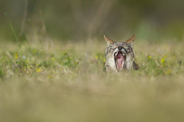 A black-backed jackal yawns in evening light canine,jackal,carnivore,scavenger,predator,Africa,savanna,savannah,grass,grassland,meadow,shallow focus,face,yawn,tired,dogs,wild dogs,canid,canids,Black-backed jackal,Canis mesomelas,Carnivores,Carni