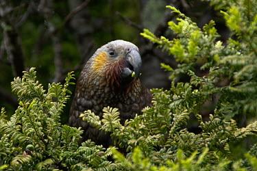 Kakapo eating leaves feeding,eating,foraging,birds,bird,parrots,parrot,Kakapo,Strigops habroptila,Parakeets, Macaws, Parrots,Psittacidae,Parrots,Psittaciformes,Aves,Birds,Chordates,Chordata,owl parrot,Strigops habroptilus