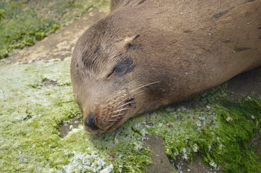 Close up of a snoozing Californian sea lion coastal,eared seals,mammal,mammals,marine,marine life,marine mammal,marine mammals,ocean,oceans,Pacific,pinnipeds,pinniped,sea,sea life,sea lion,sleep,asleep,sleeping,snooze,tired,nap time,close up,fa