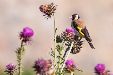 Goldfinch perching on thistle bird,birds,birdlife,avian,aves,wings,feathers,bill,plumage,perch,perched,perching,sitting,finch,finches,flower,flowers,thistle,shallow focus,close up,colourful,summer,Goldfinch,Carduelis carduelis,Per