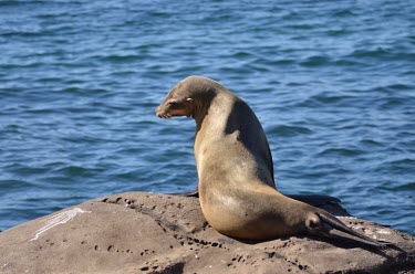 California sea lion sunbathing on coastal rocks coastal,eared seals,mammal,mammals,marine,marine life,marine mammal,marine mammals,ocean,oceans,Pacific,pinnipeds,pinniped,sea,sea life,sea lion,shore,water,face,snout,whiskers,sunbathing,California s
