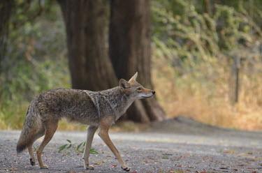 A coyote walking along a road canine,wild dog,bushy tail,snout,walking,path,track,coat,fur,pelt,profile,dog,dogs,Coyote,Canis latrans,Mammalia,Mammals,Dog, Coyote, Wolf, Fox,Canidae,Carnivores,Carnivora,Chordates,Chordata,prairie