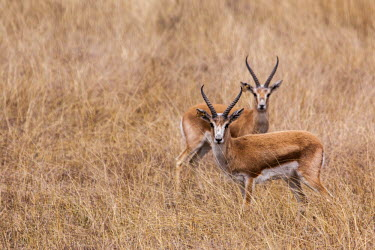 A pair of gazelle on alert in the grassland gazelle,antelope,antelopes,herbivores,herbivore,vertebrate,mammal,mammals,terrestrial,ungulate,horns,horn,Africa,African,grassland,savanna,savannah,negative space,shallow focus,grazers,alert,looking a